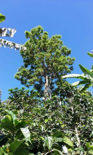 trees_acacias_coffee_farm