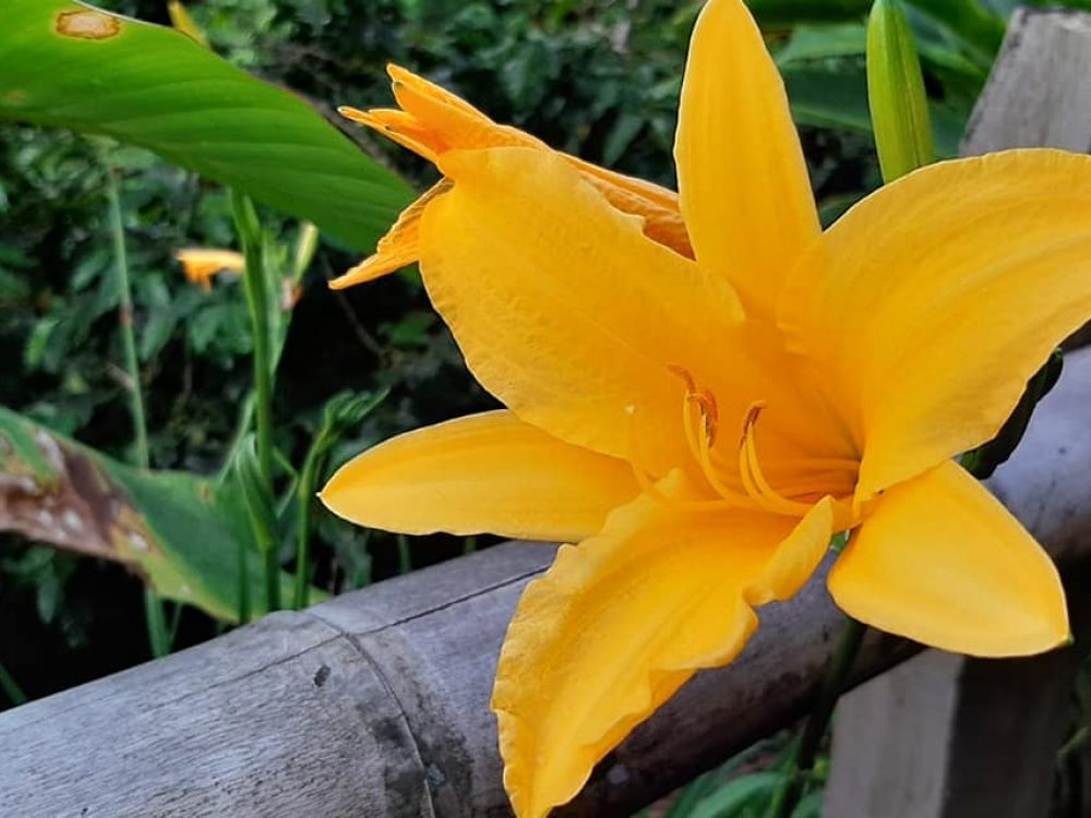 yellow_flower_acacias_coffee_farm